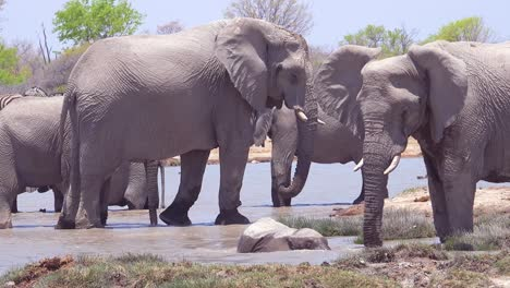 A-large-group-of-white-African-elephants-playfully-bathe-and-splash-at-a-watering-hole-at-Etosha-National-Park-Namibia-Africa