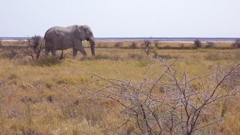 Rare-white-elephant-on-the-salt-pan-covered-in-white-dust-at-Etosha-National-Park-Namibia-Africa