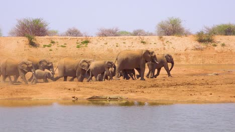 A-large-herd-of-thirsty-and-dusty-African-elephants-arrive-at-a-watering-hole-and-drink-and-play-in-Erindi-Park-Namibia