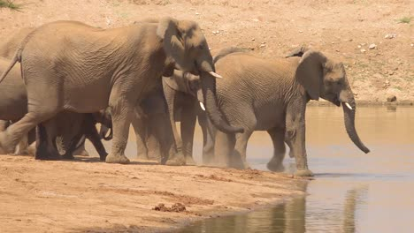 A-large-herd-of-thirsty-and-dusty-African-elephants-arrive-at-a-watering-hole-and-drink-and-play-in-Erindi-Park-Namibia-1