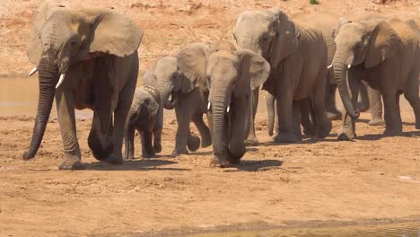 A-large-herd-of-thirsty-and-dusty-African-elephants-arrive-at-a-watering-hole-and-drink-and-play-in-Erindi-Park-Namibia-2