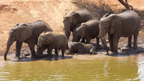 Remarkable-footage-of-a-family-herd-of-African-elephants-enjoying-a-mud-bath-at-a-watering-hole-at-Erindi-Park-Namibia-Africa-1