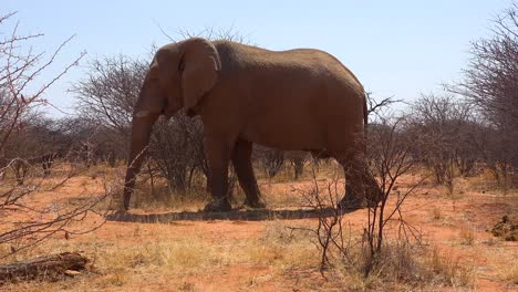 A-very-large-and-elegant-African-elephant-poses-in-the-bush-or-savannah-in-Erindi-Park-Namibia