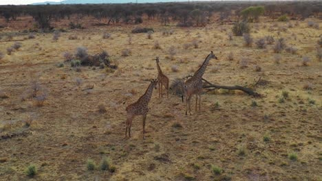 Aerial-over-giraffes-standing-on-the-savannah-on-safari-in-Erindi-Park-Namibia
