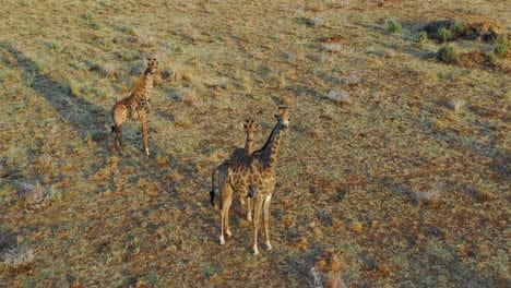 Aerial-over-giraffes-standing-on-the-savannah-on-safari-in-Erindi-Park-Namibia-1