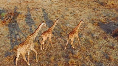 Beautiful-aerial-over-giraffes-walking-on-the-savannah-on-safari-in-Erindi-Park-Namibia