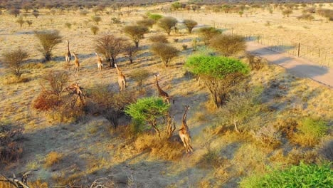 Amazing-aerial-over-giraffes-running-on-the-savannah-on-safari-in-Erindi-wildlife-Park-Namibia