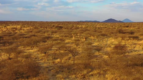 Good-aerial-over-giraffes-running-on-the-savannah-on-safari-in-Erindi-wildlife-Park-Namibia