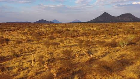 Excellent-aerial-of-giraffes-running-on-the-savannah-on-safari-in-Erindi-wildlife-Park-Namibia