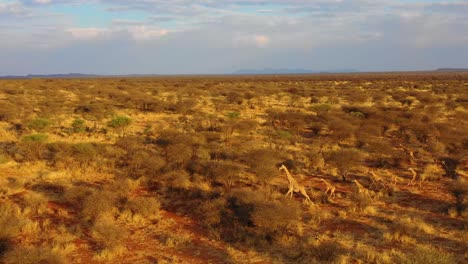 Excellent-aerial-of-giraffes-running-on-the-savannah-on-safari-in-Erindi-wildlife-Park-Namibia-1