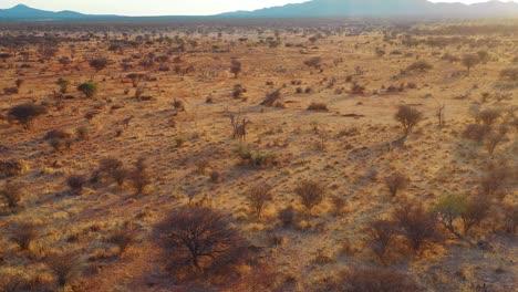 Beautiful-aerial-over-giraffes-walking-on-the-savannah-on-safari-in-Erindi-Park-Namibia-1