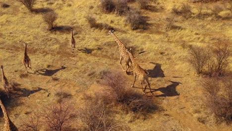Excellent-aerial-of-giraffes-running-on-the-savannah-on-safari-in-Erindi-wildlife-Park-Namibia-2