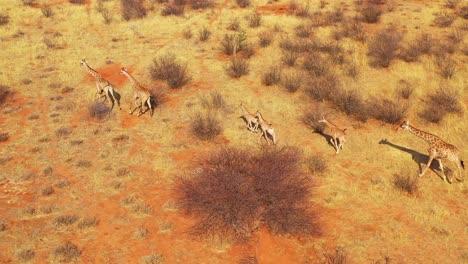 Excellent-aerial-of-giraffes-running-on-the-savannah-on-safari-in-Erindi-wildlife-Park-Namibia-3