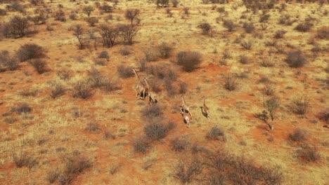 Excellent-aerial-of-giraffes-running-on-the-savannah-on-safari-in-Erindi-wildlife-Park-Namibia-4