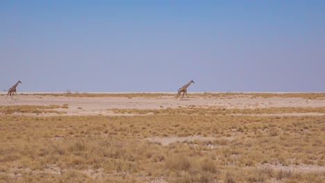 Two-giraffes-walk-across-a-dry-landscape-at-Etosha-National-Park-Namibia