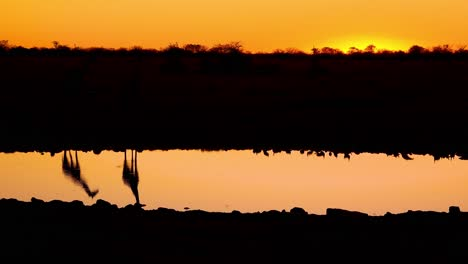 Remarkable-shot-of-giraffes-drinking-reflected-in-a-watering-hole-at-sunset-or-dusk-in-Etosha-National-Park-Namibia