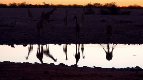 Remarkable-shot-of-giraffes-drinking-reflected-in-a-watering-hole-at-sunset-or-dusk-in-Etosha-National-Park-Namibia-1
