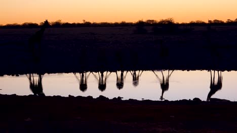 Remarkable-shot-of-giraffes-drinking-reflected-in-a-watering-hole-at-sunset-or-dusk-in-Etosha-National-Park-Namibia-2