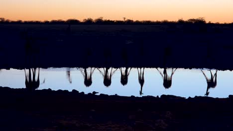 Remarkable-shot-of-giraffes-drinking-reflected-in-a-watering-hole-at-sunset-or-dusk-in-Etosha-National-Park-Namibia-3