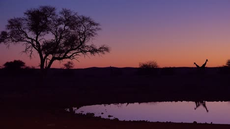 Remarkable-shot-of-giraffes-drinking-reflected-in-a-watering-hole-at-sunset-or-dusk-in-Etosha-National-Park-Namibia-5