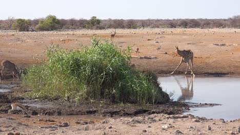Shot-of-a-giraffe-kneeling-and-drinking-reflected-in-a-watering-hole-in-Etosha-National-Park-Namibia
