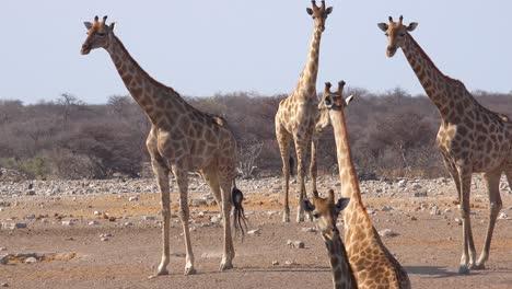 Varias-Jirafas-De-Pie-En-Un-Grupo-En-Las-Llanuras-Secas-Del-Parque-Nacional-De-Etosha-Namibia