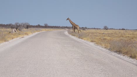 A-lonely-giraffe-crosses-the-road-in-Etosha-National-Park-Namibia
