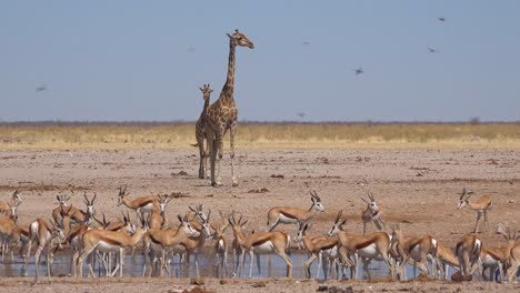 Zwei-Giraffen-Warten-An-Einer-Wasserstelle-Mit-Dutzenden-Von-Sprinkbok-Antilopen-Im-Vordergrund-Etosha-Nationalpark-Namibia