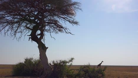 A-lonely-giraffe-walks-on-the-open-savannah-in-Etosha-National-Park-Namibia