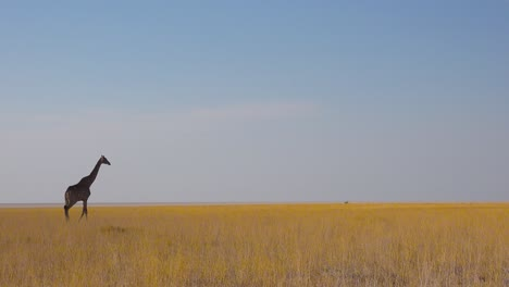 A-lonely-giraffe-walks-on-the-open-savannah-in-Etosha-National-Park-Namibia-1