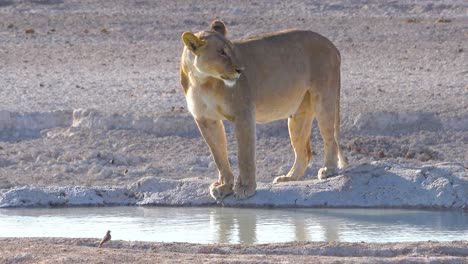 A-female-lion-stands-beside-a-watering-hole-in-Africa-at-Etosha-National-Park-Namibia
