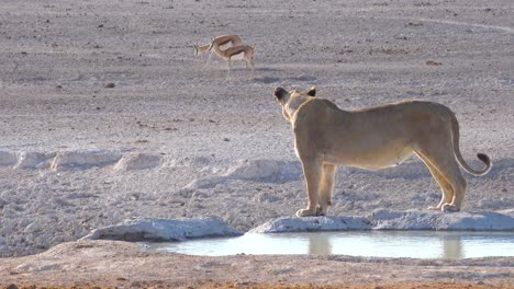 A-female-lion-stands-beside-a-watering-hole-looking-at-prey-springbok-antelope-in-distance-at-Etosha-National-Park-Namibia