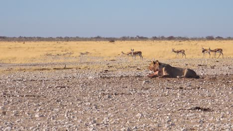 Two-female-lions-sit-on-the-savannah-in-Africa-contemplating-their-next-meal-as-springbok-antelope-walk-by-in-distance-1