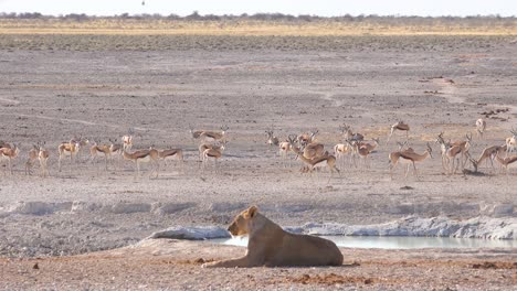 A-female-lion-sits-on-the-savannah-in-Africa-contemplating-her-next-meal-as-springbok-antelope-walk-by-in-distance