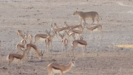 A-female-lion-walks-hunts-on-the-savannah-plain-of-Africa-with-springbok-antelope-all-around