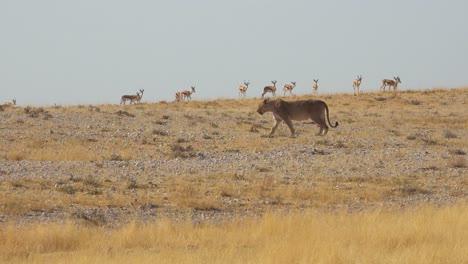 Ein-Weiblicher-Löwe-Jagt-Auf-Der-Savanne-Afrikas-Mit-Springbockantilopen-Rund-Um-1