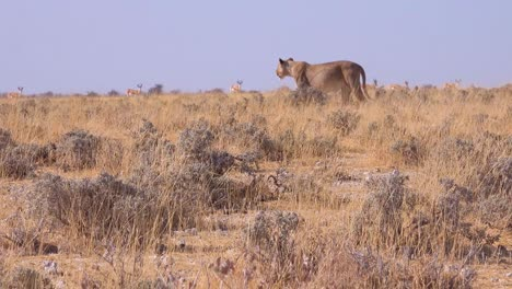 A-female-lion-hunts-on-the-savannah-plain-of-Africa-with-springbok-antelope-all-around
