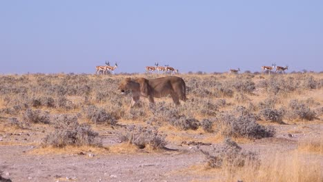 A-female-lion-hunts-on-the-savannah-plain-of-Africa-with-springbok-antelope-all-around-1