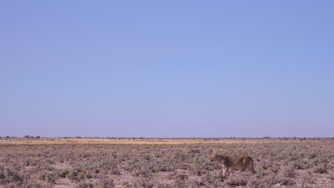 A-female-lion-hunts-on-the-vast-dry-savannah-plain-of-Africa-in-Etosha-National-Park-Namibia