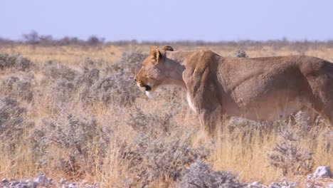 A-female-lion-hunts-on-the-savannah-plain-of-Africa-with-springbok-antelope-all-around-3