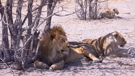 A-pride-of-lions-sits-on-the-savannah-plains-of-Africa-on-safari-in-Etosha-National-Park-Namibia