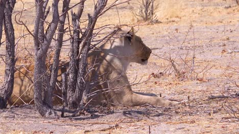 A-female-lion-sits-on-the-savannah-in-Africa-in-Etosha-National-Park-Namibia