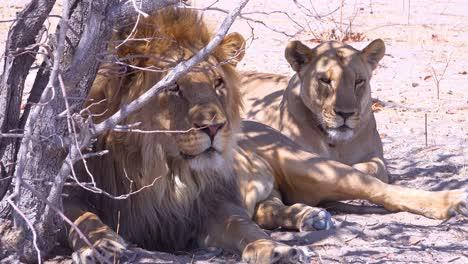 Una-Manada-De-Leones-Se-Asienta-En-Las-Llanuras-De-La-Sabana-De-África-En-Un-Safari-En-El-Parque-Nacional-De-Etosha,-Namibia-1