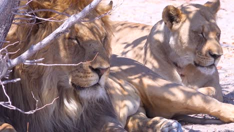 A-pride-of-lions-sits-on-the-savannah-plains-of-Africa-on-safari-in-Etosha-National-Park-Namibia-2