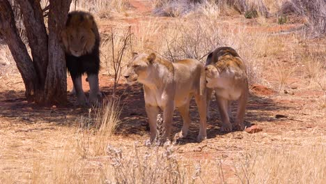 A-pride-of-lions-walks-on-the-savannah-plains-of-Africa-with-the-male-scratching-his-back-on-a-tree-on-safari-in-Etosha-National-Park-Namibia