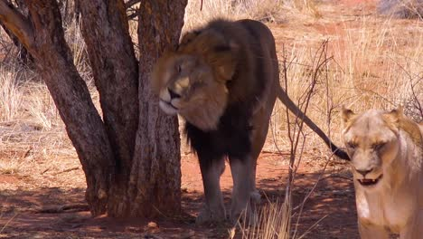 A-male-lion-scratching-his-back-on-a-tree-on-safari-in-Etosha-National-Park-Namibia