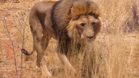 Un-León-Macho-Camina-Sobre-La-Sabana-A-La-Caza-De-Alimentos-En-Namibia-África