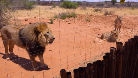 Aggressive-animals---angry-lions-interact-with-and-scare-tourists-behind-a-wire-fence-in-Africa