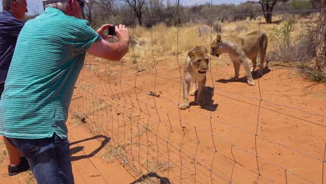 Aggressive-animals---angry-lions-interact-with-and-scare-tourists-behind-a-wire-fence-in-Africa-1