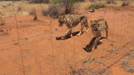 Wütende-Und-Aggressive-Löwen-Sind-Wenig-Rohes-Fleisch-In-Einem-Wildpark-In-Afrika-1